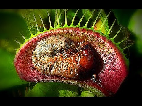 Venus flytrap – insects eating plant. Where to find it ?
